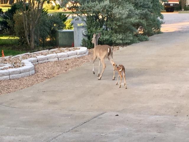 The front yard deer