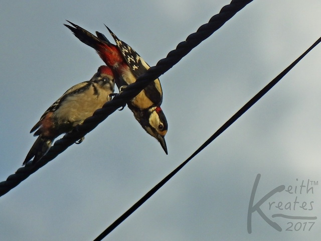 Two birds on a wire. One upside down