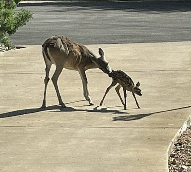 Photo of a mama deer and fawn