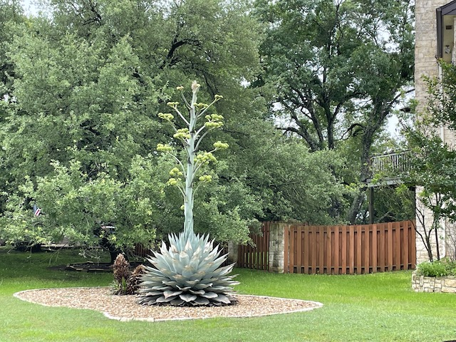 Photo of artichoke agave