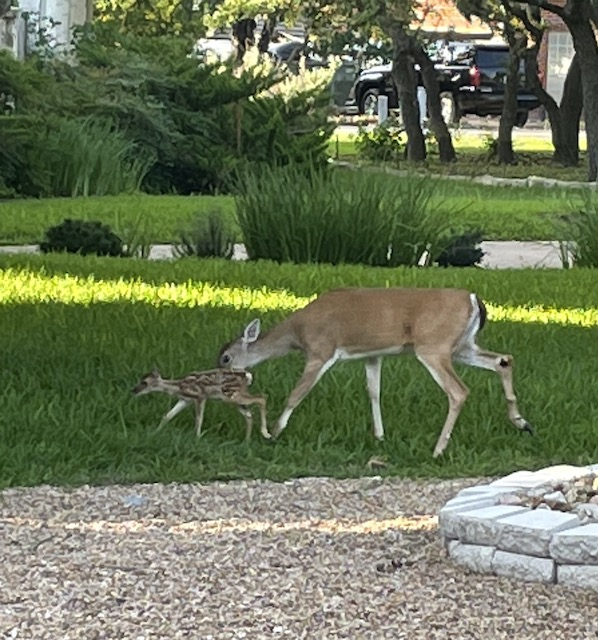 Fawn and mama